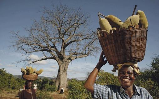 baobab-superaliment-sante